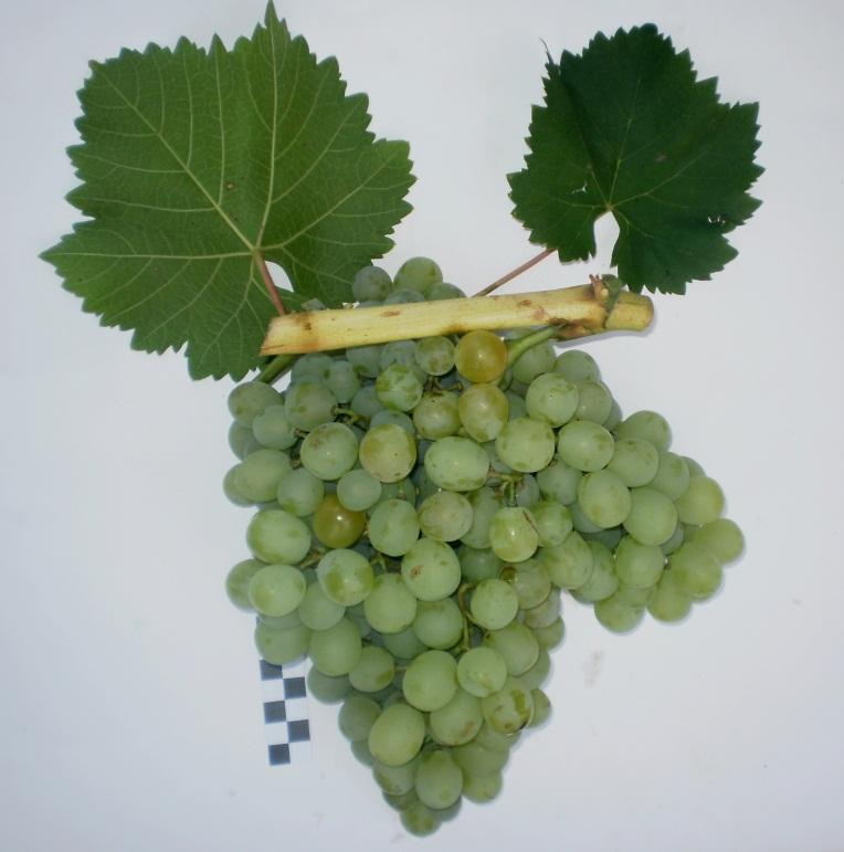 Сорт винограда Белый ранний