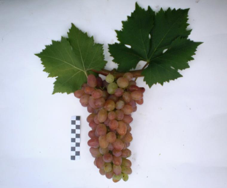 Сорт винограда Фантазия