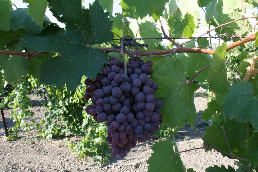 Сорт винограда Рубин АЗОС